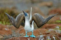 Blue footed Bobby on the Galapagos Islands by Austin Thomas