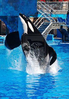 Animals And Pets, Cute Animals, Seaworld Orlando, Cute Whales, Wal, Killer Whales, Sea World, Dolphins, Mammals
