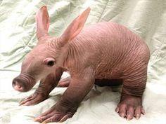 Baby AARDVARK (Orycteropus afer) born at Detroit Zoo,  2011