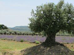lavande & olive