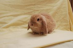 Image result for fawn mini lop