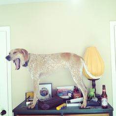 Maddie the coonhound likes to stand on things.