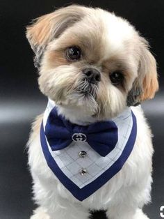 "Obtain great tips on ""shih Tzu dogs"". They are on call for you on our web site. Perro Shih Tzu, Shih Tzu Puppy, Shih Tzus, Shitzu Puppies, Cute Dogs And Puppies, Doggies, Dog Haircuts, Dog Clothes Patterns, Pet Fashion"