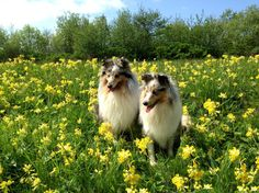animals with flowers | Two beautiful Sheltie breed dog in flowers wallpapers and images ...
