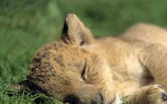 it's nap time for this cute little feline baby lion. Cubs Wallpaper, Animal Wallpaper, Nature Wallpaper, Baby Animals Pictures, Cute Baby Animals, Wild Animals, Baby Lion Cubs, Sleeping Lion, Lion Images