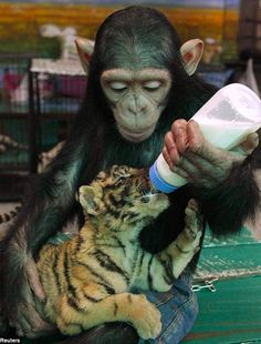 Do Do feeding tiger cub Aorn at Thailand's Samut Prakan Crocodile Farm and Zoo in Bangkok • photo: Reuters on Mail Online • video: https://www.youtube.com/watch?v=GfCyE-As8R8