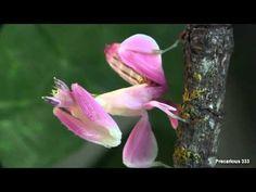 Hymenopus coronatus - Vídeo de esta preciosa mantis