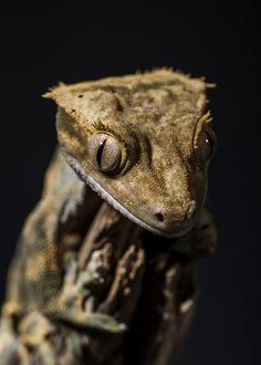 I LOVE geckos. I miss ours.... Crested Gecko
