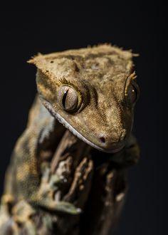 I LOVE geckos. I miss ours.... Crested Gecko