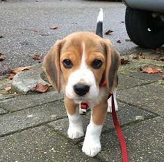 This beagle looks like it's a stuffed animal