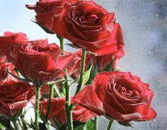 Roses by Alla Serdyuk on 500px