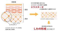 UV-B紫外線による皮膚のしわ発生と血管新生との関連性
