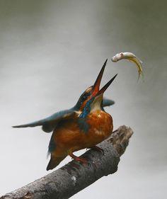 ~~kingfisher~~