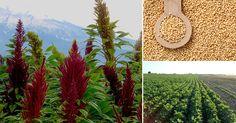 El+amaranto:+la+planta+justiciera+que+ataca+a+los+cultivos+transgénicos