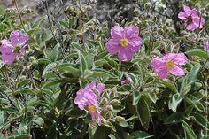 Zistrose-(Amargante,-Cistus-symphytifolius)-   Ладанник.   Научное название произошло от греч. Kistos или лат Kisthos — название рода у Теофраста и Диоскорида. За сходство цветков с цветками шиповника ладанник иногда называют «скальной розой».