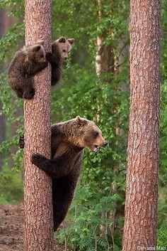 N Animals, Large Animals, Cute Baby Animals, Wild Animals, Baby Panda Bears, Bear Cubs, Baby Pandas, Tiger Cubs, Tiger Tiger