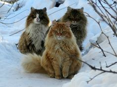 Norwegian Forest Cats see more at http://blog.blackboxs.ru/category/funny-cats/