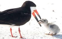Photo of mother bird feeding chick a cigarette butt used to spotlight litter - Info Ideal Us Beaches, Florida Beaches, Florida Usa, Vida Animal, Sad Pictures, Tiny Bird, Sea Birds, Bird Feeders, Biodegradable Products