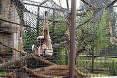 Hang out with monkeys at Cotswold Wildlife Park & Gardens, Oxfordshire.
