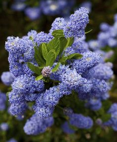 Low water landscaping doesn't have to be desert-like. Best native plants by color for the colorful native garden. Garden Photography, Shrubs, Winter Plants, Plants, Lilac, Pretty Plants, Drought Tolerant Shrubs, Shrub Care, Garden Express