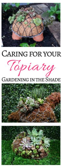 Some tips to help you care for your topiary once it's planted!