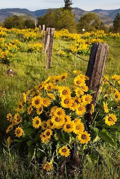 8 Exquisite Tips: Horse Fencing fence and gates decor.Fence And Gates Decor contemporary garden fencing. Sunflowers And Daisies, Love Flowers, Wild Flowers, Beautiful Flowers, Yellow Flowers, Sunflowers Background, Beautiful Pictures, Sun Flowers, Exotic Flowers