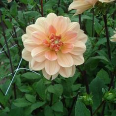 Dahlia camélia Apricot Desire Beautiful Flowers Garden, Pretty Flowers, Garden Plants, Planters, Leaves, Bride, Dahlias, Wedding, Image