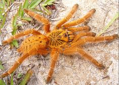 "Pterinochilus murinus, the ""OBT"" or Orange Baboon Tarantula (or Orange Bitey Thing). Types Of Spiders, Big Spiders, Scorpion, Eight Legged Freaks, Pet Tarantula, Orange Spider, Spider Mites, Itsy Bitsy Spider, Jumping Spider"