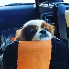 Heading to my local park via a car.  Very comfortable!  #itsacavthing #cavalierlove #doggy #cavalier #park #kingcharlescavalier #cavalierkingcharlesspaniel #キャバリア #キャバリア部 #キャバリア犬 #キャバリア大好き #キャバリアブレンハイム #長生きしてね #愛犬 #わんこ #ふわもこ部 #公園