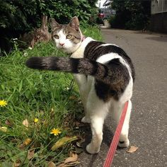 Walking Your Cat Isn't Just Adorable -It Can Also Be Beneficial