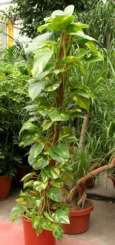 foug re de boston kamerplanten pinterest plantes d polluantes les plantes et plantes. Black Bedroom Furniture Sets. Home Design Ideas