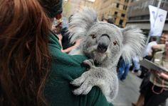 Australia celebra todos los 7 de septiembre el Día Nacional de las Especies Amenazadas. El evento, que permite a los visitantes interactuar con los animales, pretende concienciar sobre la imporancia de la protección animal. En la imagen un koala posa en los brazos de uno de sus ciudadores en una plaza de Sídney.