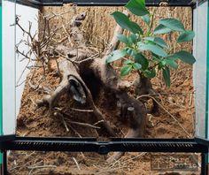 Terrarium for Monocentropus balfouri