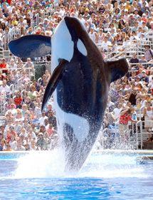 Ulises, la orca más famosa de Barcelona, luce palmito en San Diego.   SeaWorld