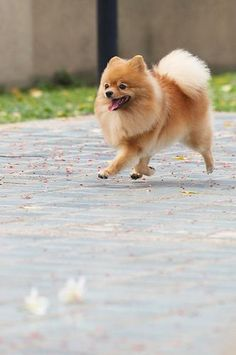 Pomeranian- We used to dog sit a Pomeranian named Ditto who looked like this.