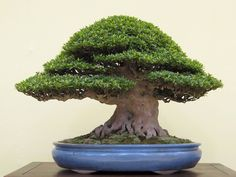 the satsuki azalea bonsai. sigh. <3