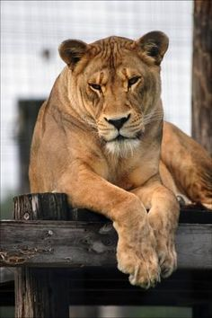 A Lioness with a Furrowed Brow Resting on a Platform at a Sanctuary for Big Cats Fotografisk trykk
