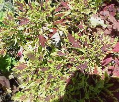 Coleus Butterfly - Glasshouse Works