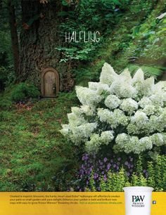 Bobo - a perfectly charming dwarf panicle hydrangea. Blooms every year, even in zone 3, and reaches a very landscape-friendly 3-5' tall: http://emfl.us/OBHd