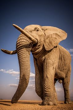 A majestic tusker walks across a dry lake in Amboseli National Park, Kenya ©Pieter Ras