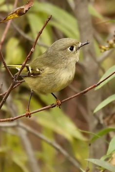 "Ruby-crowned Kinglet: 3 3/4-4 1/2"" (10-11 cm). Tiny. Similar to Golden-crowned Kinglet, but greener, with no face pattern except for narrow white eye ring. 2 white wing bars with dark area beyond second. Males have tuft of red feathers on crown, kept concealed unless bird is aroused. Hutton's Vireo is larger, with thicker bill, larger head, and no dark area beyond second wing bar."