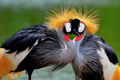 This pair of strikingly coloured crowned cranes appear to having a staring contest as they stand beak to beak.  Photographer Vikran Kokeatsiri took this picture in Thailand.