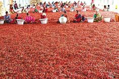 Andhra Chillies - Chili pepper - Wikipedia, the free encyclopedia