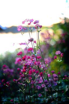 One of my fav perennials - Astrantia major 'Venice' älskar stjärnflocka! Wild Flowers, Beautiful Flowers, Summer Flowers, Purple Wildflowers, Purple Flowers, Meadow Flowers, Astrantia Major, Astrantia Flower, Full Sun Perennials
