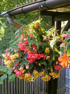 Storing your Tuberous Begonias for Winter and Planting Again Next Spring