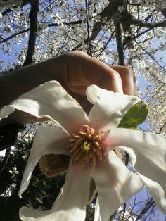#april #magnolia