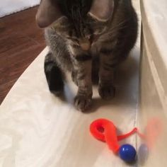 It is wonderful to see Sam play again. Funny Animal Videos, Cute Funny Animals, Funny Cats, Kittens Playing, Cats And Kittens, Beautiful Cats, Cat Toys, Cool Cats, Pet Care