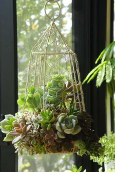 Succulents in a birdcage.