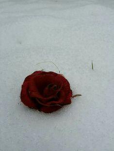 La rosa parla di amore silenziosamente,in un linguaggio che comprende solo il cuore. (neve a Pisa) Foto di Katyb