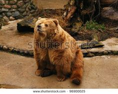 Brown bear in captivity - stock photo